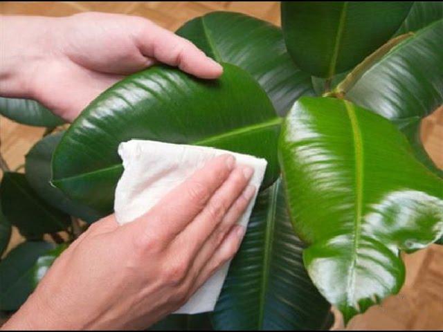 Как сделать полироль для комнатных растений