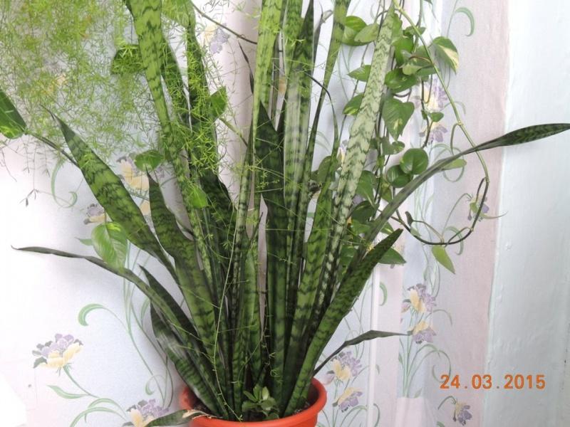 Уход за домашними цветами. Как пересадить сансевиерию (щучий хвост)